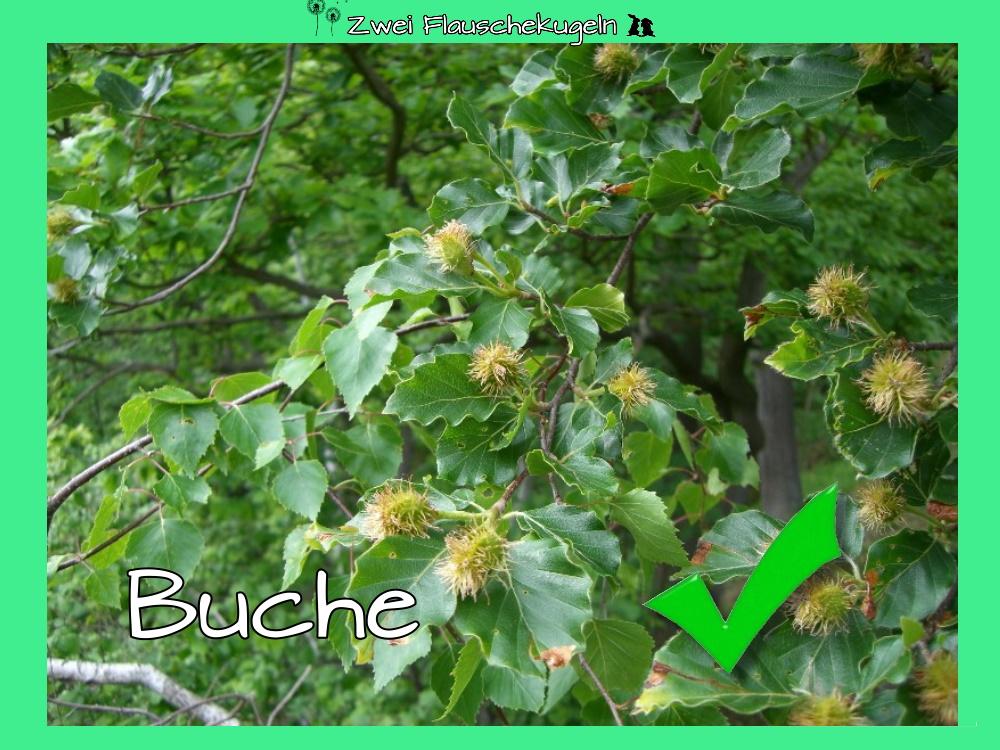 Buche (im Gemisch)